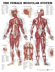 Anatomical Chart Company Female Muscular Chart