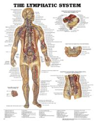 Anatomical Chart Co. Lymphatic System Chart
